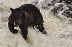 Black Bear Wild Wolf Tours