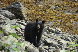 Black Bear Ketchikan Wild Wolf Tours