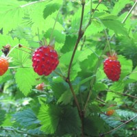 Salmon Berries on our Ketchikan Rainforest Tour