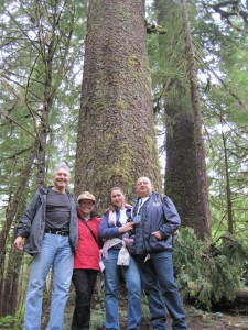 Giant Spruce Trees
