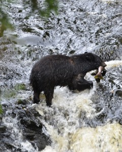 Black Bear feeding on salmon in creek on Ketchikan Rainforest Tour