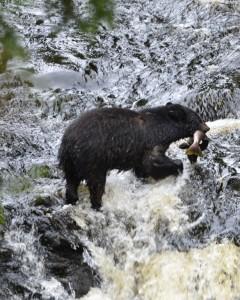 Black Bear feeding on salmon in creek on Ketchikan Rainforest Tour