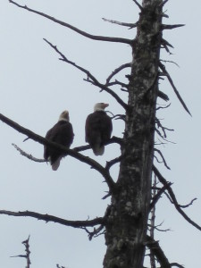 Pair of Bald Eagles on Ketchikan Rainforest Tour